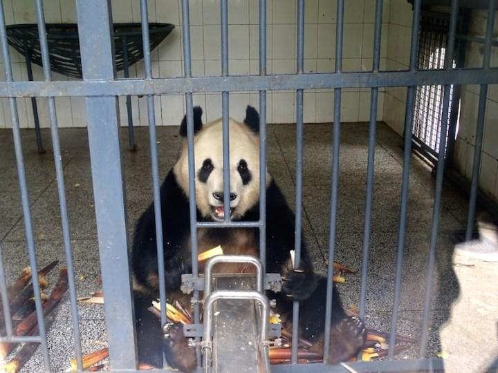 ©playingtheworld-chine-panda-bifengxia-voyage-10