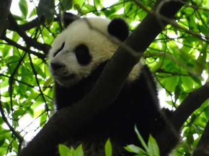 ©playingtheworld-chine-panda-bifengxia-voyage-11