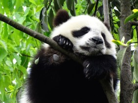 ©playingtheworld-chine-panda-bifengxia-voyage-22