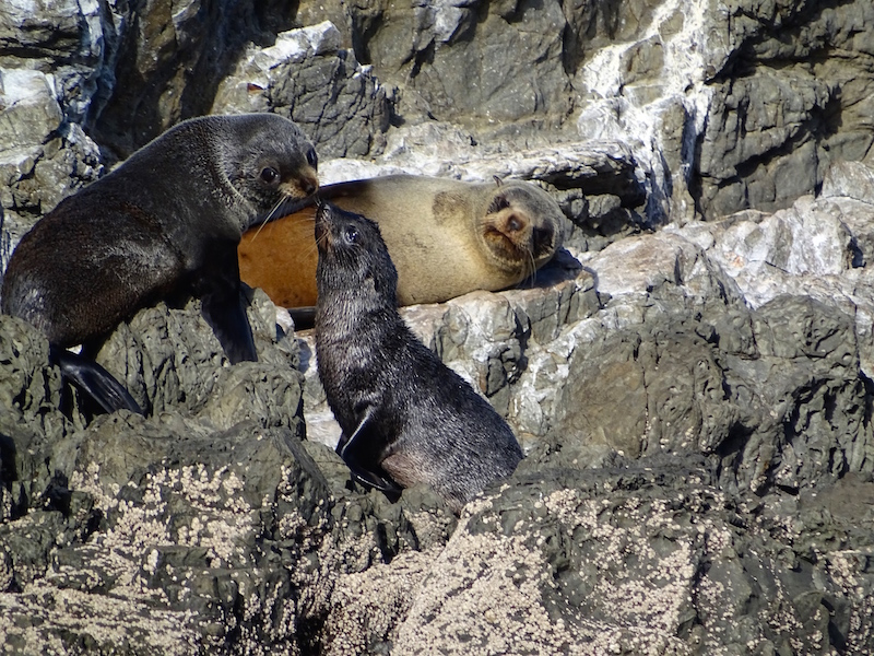 ©playingtheworld-nouvelle-zelande-kaikoura-dauphin-voyage-17