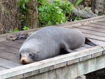 ©playingtheworld-nouvelle-zelande-kaikoura-dauphin-voyage-2