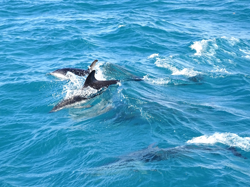 ©playingtheworld-nouvelle-zelande-kaikoura-dauphin-voyage-21