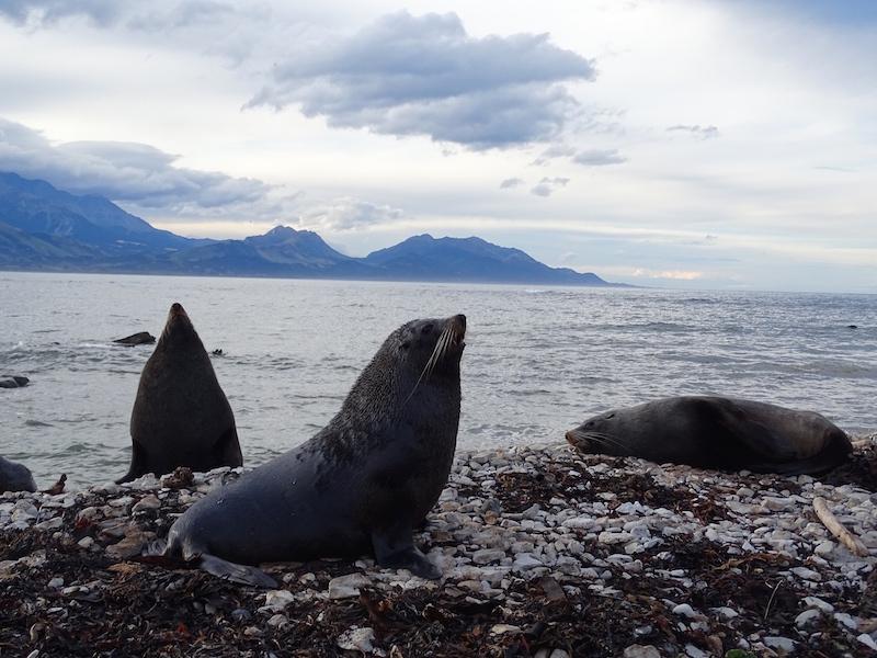 ©playingtheworld-nouvelle-zelande-kaikoura-dauphin-voyage-3
