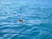 ©playingtheworld-nouvelle-zelande-kaikoura-dauphin-voyage-6