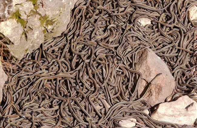 Manitoba-has-Biggest-Snake-Territory