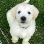 Pleasant Pond Goldens Breeders Of Exceptional European English Cream Golden Retrievers Home