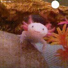 """DZZ AFTkNjLFD46xsaS RpwVRkkuL11meY1 Ck3gAKo Native to Mexico, the axolotl has a slimy tail and a mouth that curls into an odd smile. It is known as the """"water monster"""" or the """"Mexican walking fish."""""""