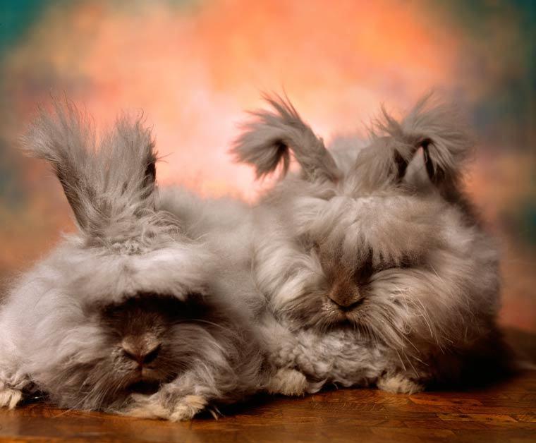 16 Angora Rabbits That Really Need a Haircut 16 Pics