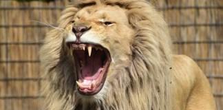 Leão feroz