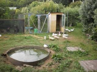 Ducks at Steve &