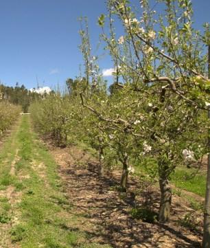 rentabilidade maçã