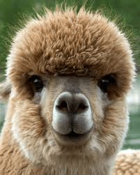 Alpaca Profile Shot