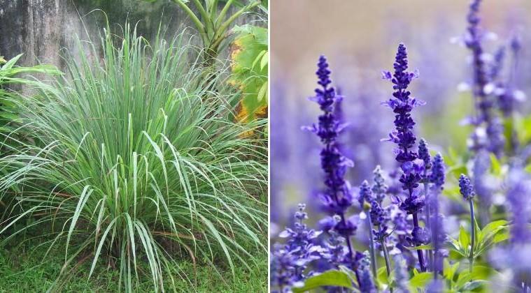 4 plantes qui garderont les moustiques loin de vous et. Black Bedroom Furniture Sets. Home Design Ideas