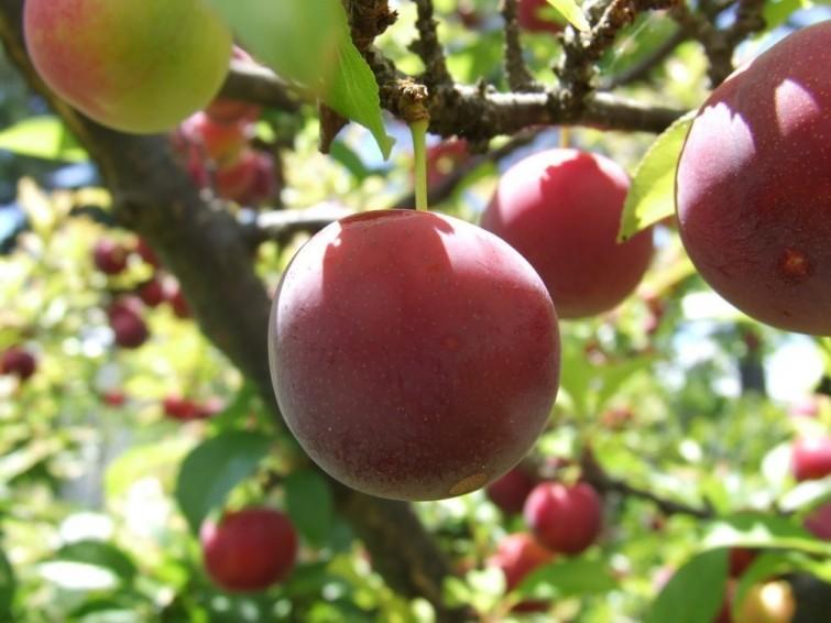 fruits57c6e6c43fdfc_crop