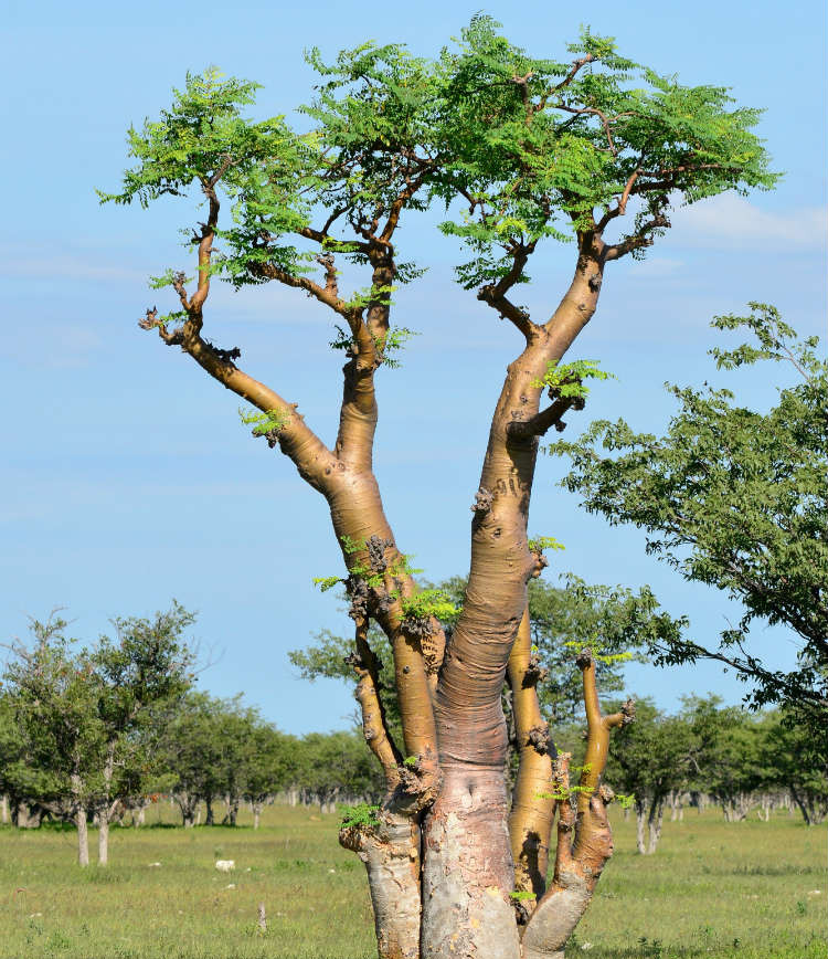 arbre_moringa