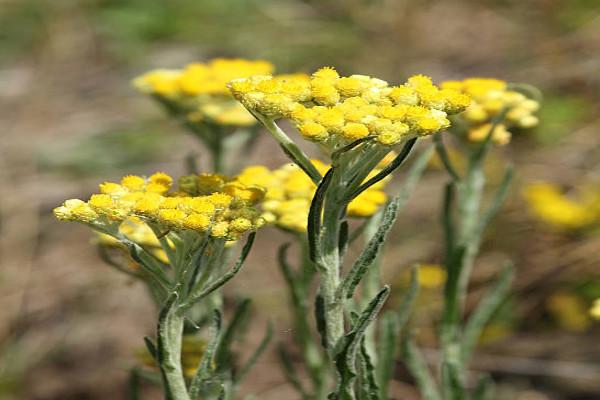 Aceite esencial de helichrysum: usos, beneficios y recetas caseras