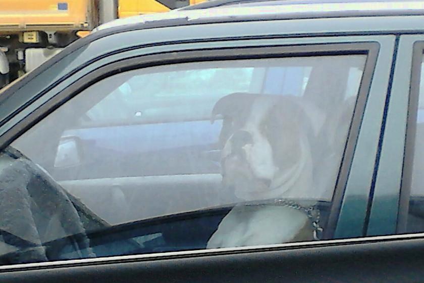 Hund am Steuer 840