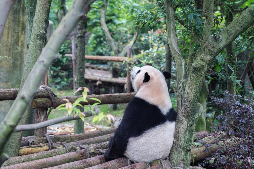 Panda | Foto von Ying Wu NsNRu6dfRds | Unsplash