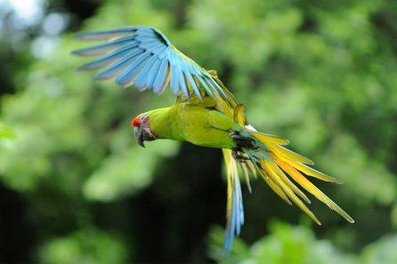 Grüner Papagei im Flug