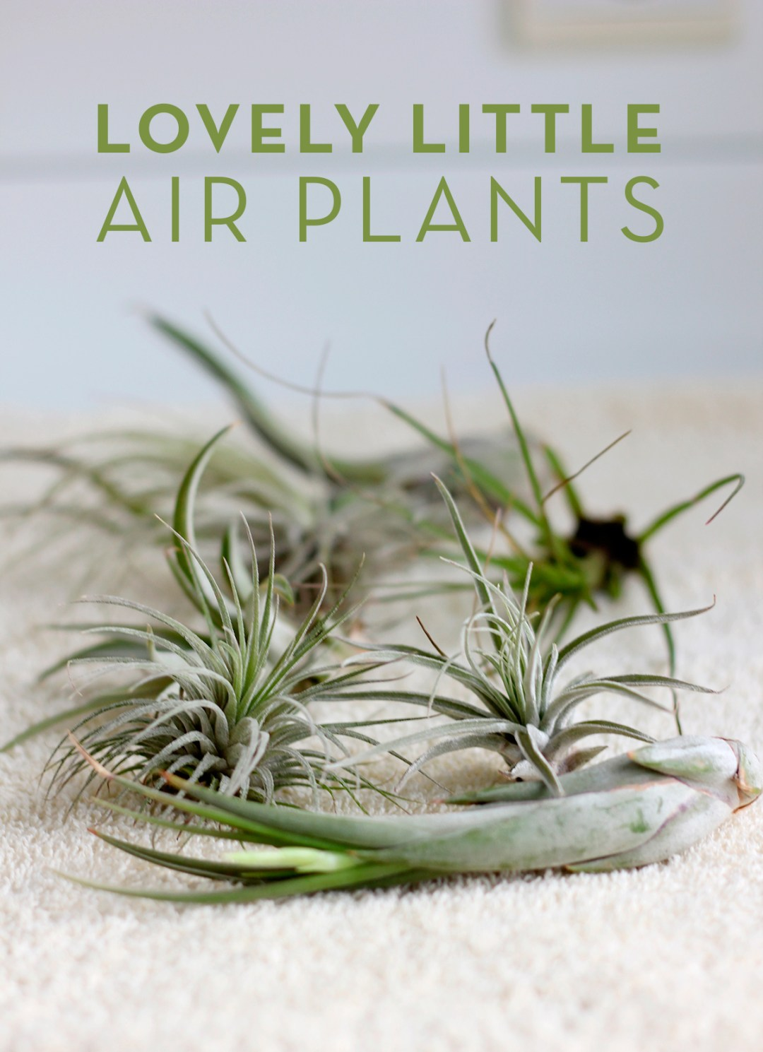 Lovely little air plants (and where to find them in Belgium)