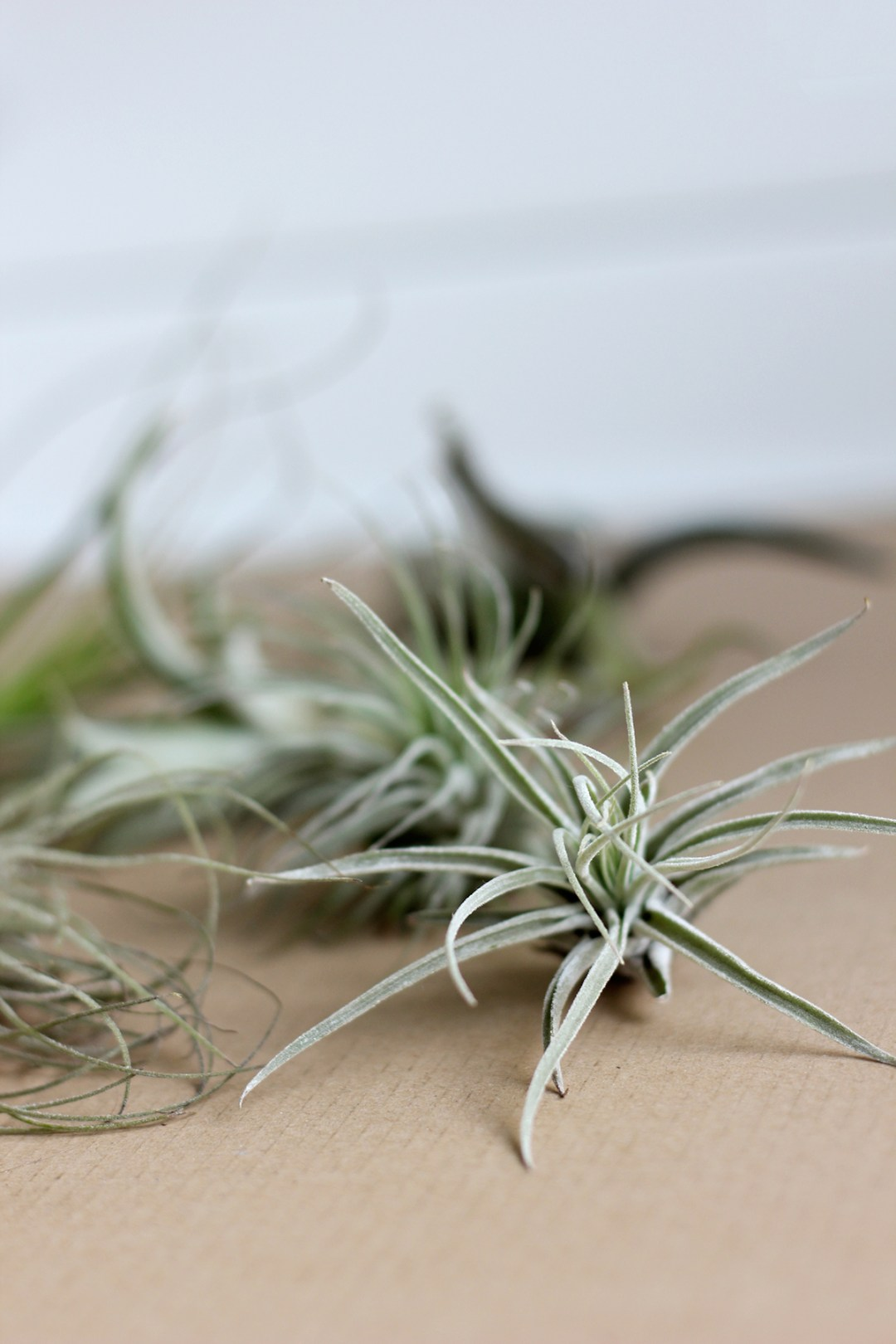 Lovely little Air plants (and where to find them)