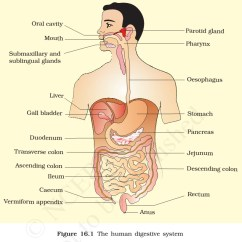 Flow Diagram Of Digestive System Sunpro Tachometer Wiring Human Glands Pmf Ias