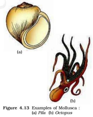 Mollusca - octopus