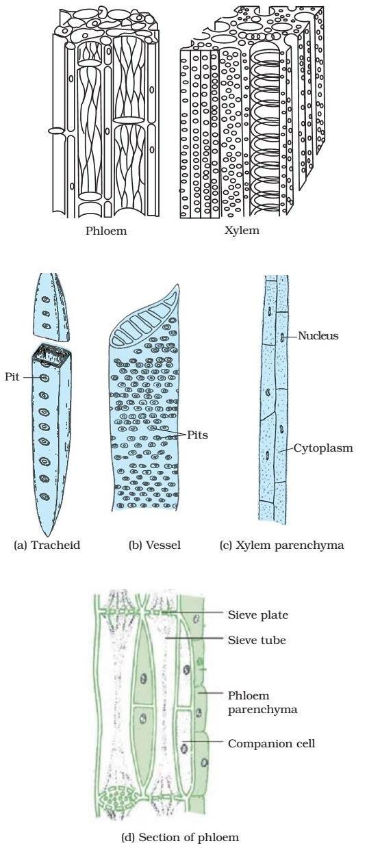Xylem - Phloem - Complex Permanent Tissue