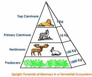 Ecological Pyramids - Pyramid of numbers, biomass & energy   PMF IAS