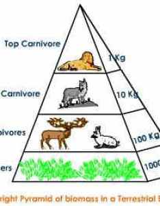 Ecological pyramid of biomass  upright also pyramids numbers energy pmf ias rh pmfias