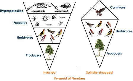 Printables Ecological Pyramids Worksheet ecological pyramids pyramid of numbers biomass energy pmf ias inverted tree ecosystem
