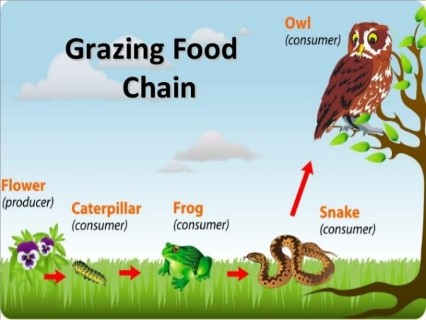 Grazing Food Chain And A Detritus Food Chain Is That