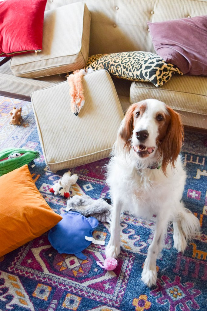 Red and white irish setter sitting next to couch cushions and pillows on the ground