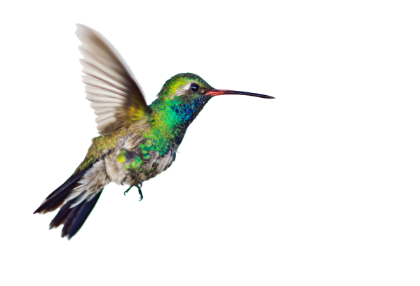 hummingbird transparent