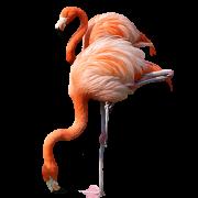 Flamingo PNG Transparent Images PNG All