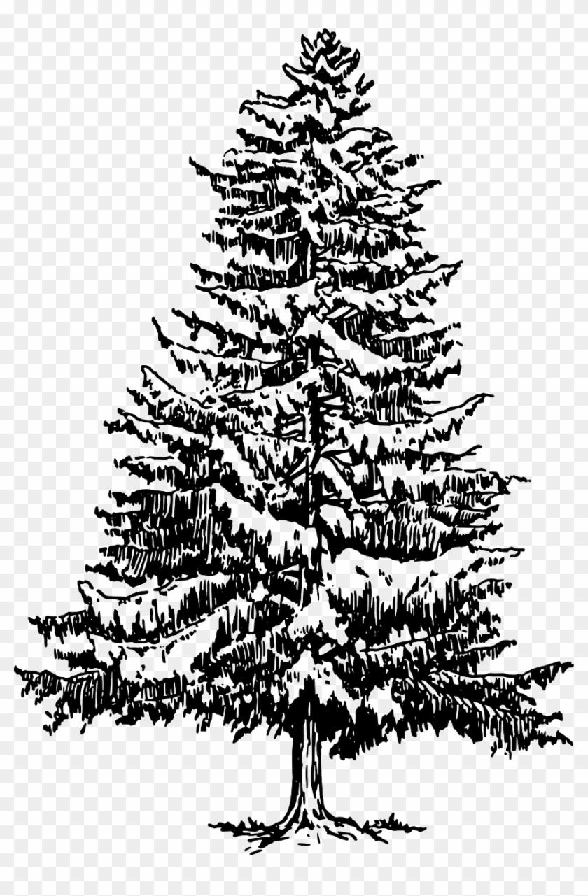 fir tree drawing pine