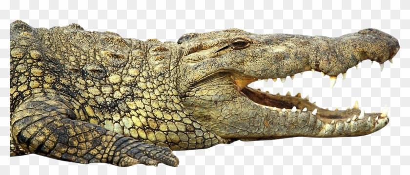 crocodile african nile crocodile