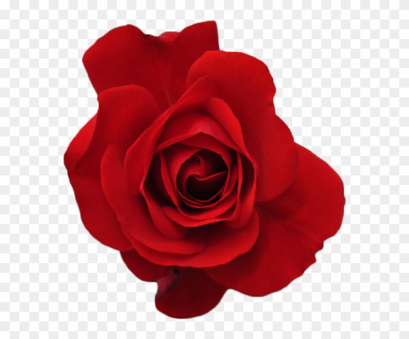 tumblr transparent flowers red