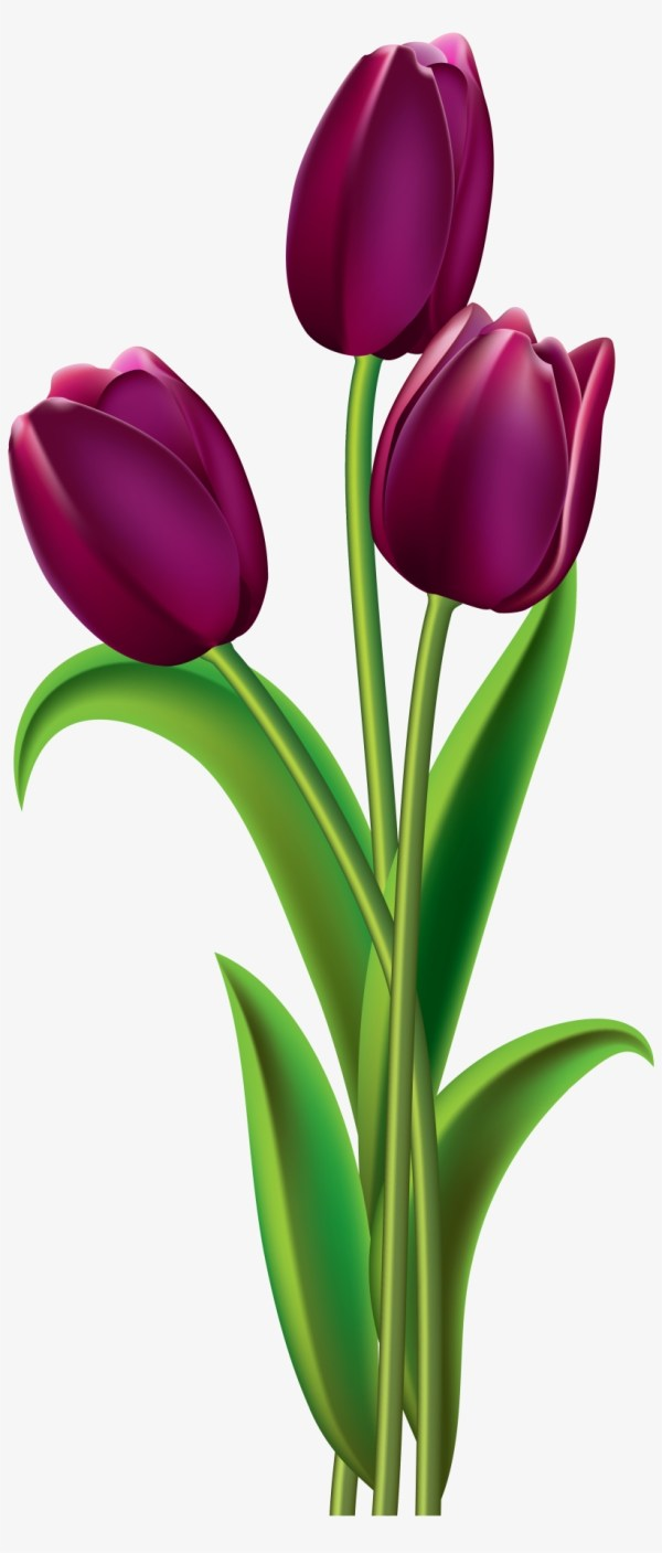transparent tulip clear background