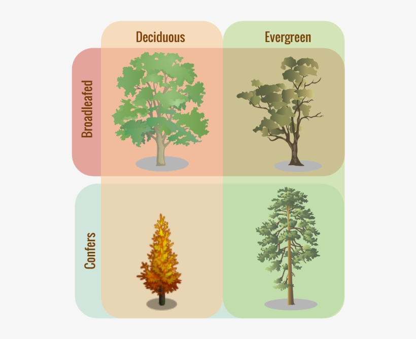 coniferous trees are evergreens that keep their foliage, which consists of either scaly leaves or needles, all year round. Tree Classifications Evergreen Trees Vs Deciduous Free Transparent Png Download Pngkey