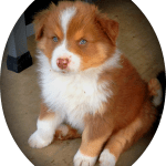 Download Blue Merle Aussies Australian Shepherd Aussies Puppy Australian Shepherd Red Puppy Png Image With No Background Pngkey Com