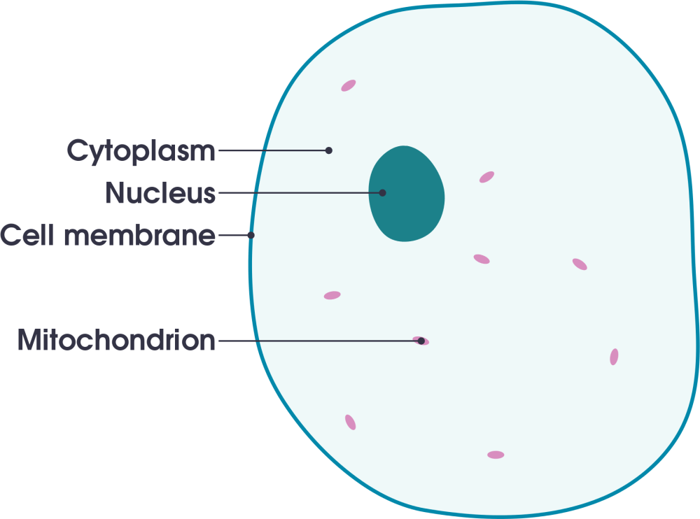 medium resolution of open animal cell diagram labeled simple 2000x1535 png download