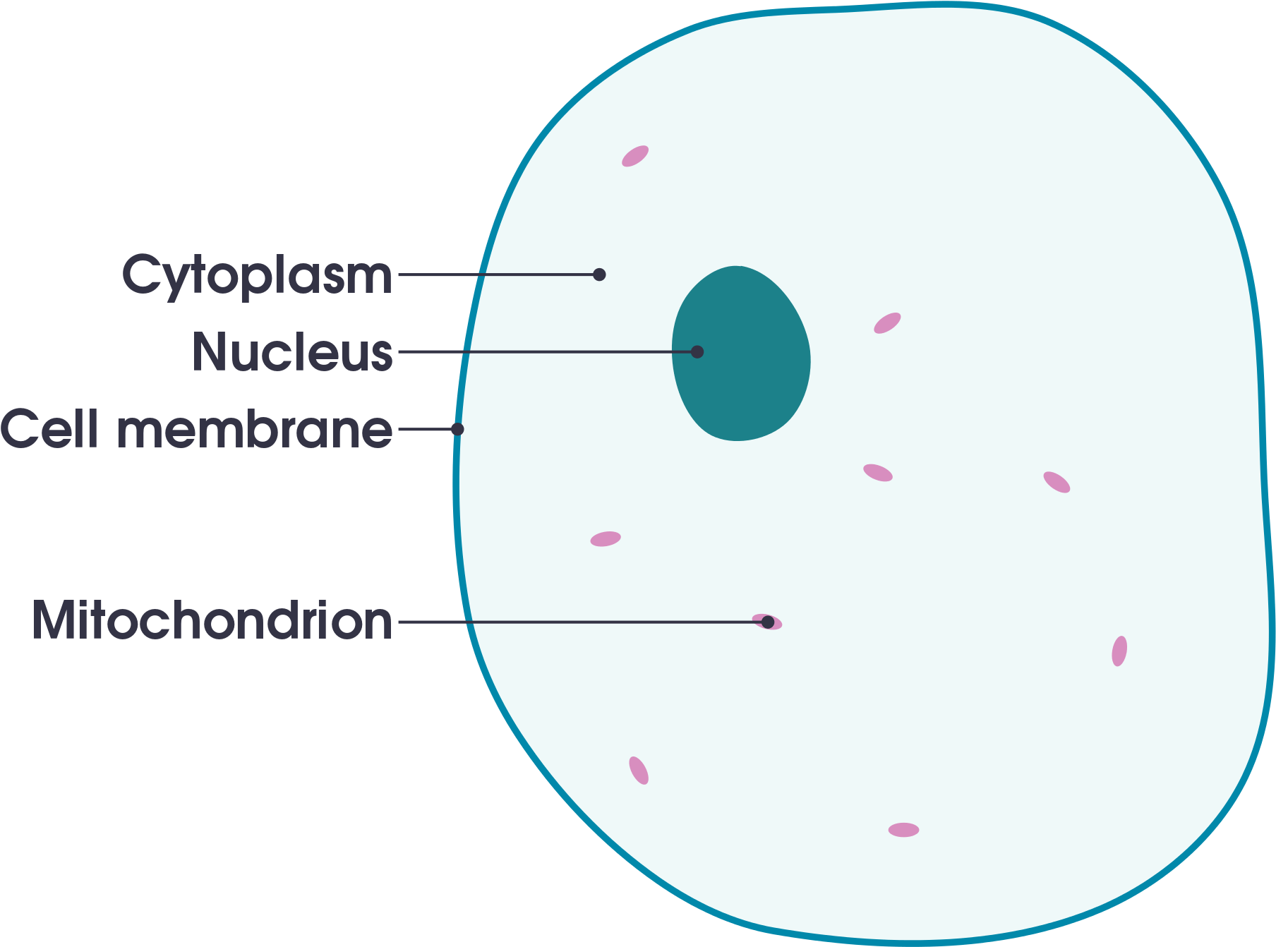 hight resolution of open animal cell diagram labeled simple 2000x1535 png download