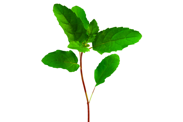 You can also download hd background in png or. Tulsi / Holy-basil: 1000+ Free Download Vector, Image, PNG ...