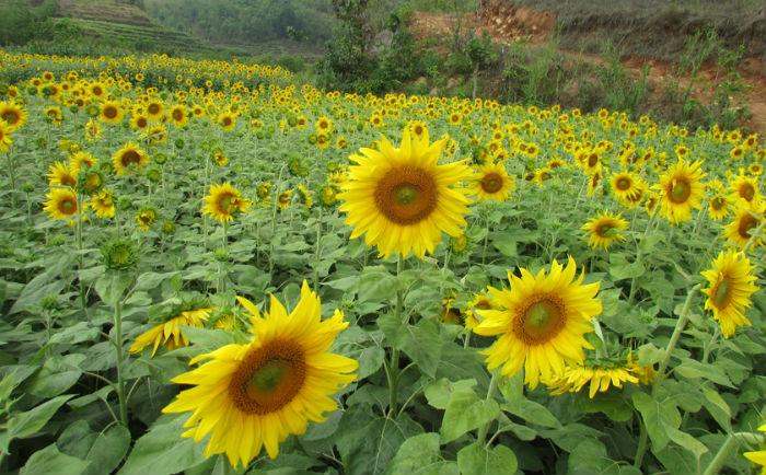 निस्दीका कृषकले सामूहिक सूर्यमुखी खेती गर्दै