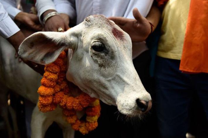 नेपालगन्जमा गाई राजनीति