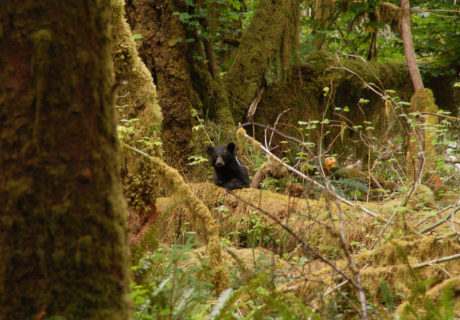 Black bear in Olympic NP