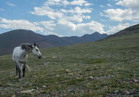 Feral Horse - Glacier National Park