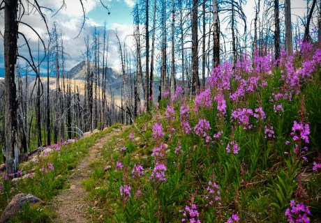 Fireweed Along the Kettle Crest Trail