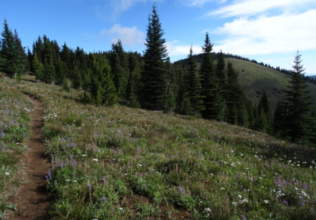 Lupine blooms along the PNT